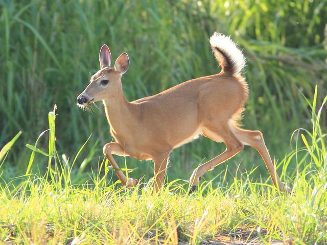 Running Deer 2-20111003