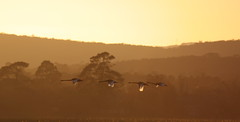 Swans at Dawn (blachswan) Tags: sunrise australia victoria blackswan ballarat cygnusatratus birdinflight lakewendouree