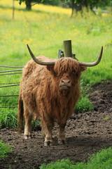 Highland Cow, Pollok Park (shotlandka) Tags: pollokpark park glasgow scotland canoneos500d шотландия глазго парк природа nature cow highlandcattle highlandcow animal farm horns корова коровы рога mygearandme artistoftheyearlevel3