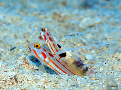 White-rayed shrimp goby - Okinawa, Japan