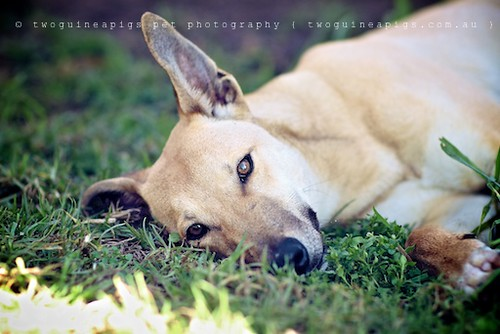 Bugsy 9 month old Kelpie x Whippet AWDRI Star Dog photographed by twoguineapigs Pet Photography, pet portraiture, dog photographer in Sydney