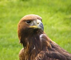 Golden Eagle (Bogger3.) Tags: golden eagle coth supershot dragondaggerphoto