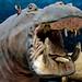 big scary hippo