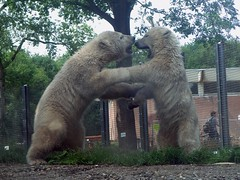Shall we dance?  Dance?  What kind of doofus are you? ('Ebe) Tags: bear polarbear rhenen bearcub savethepolarbear ouwehandszoo sikuorsesi