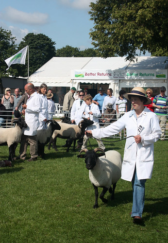 Showing Norfolk Horn sheep