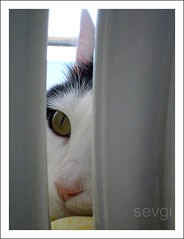 Hiding (sevgi_durmaz) Tags: cute animal cat sweet hiding 1001nights cateyes catface pamuk