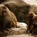 Os espertos babuinos