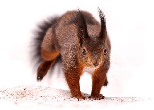 [フリー画像] 動物, 哺乳類, リス, 201107151100