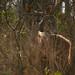 Kudu femea