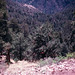 Chiricahua Mountains 1981 C09 Woodland