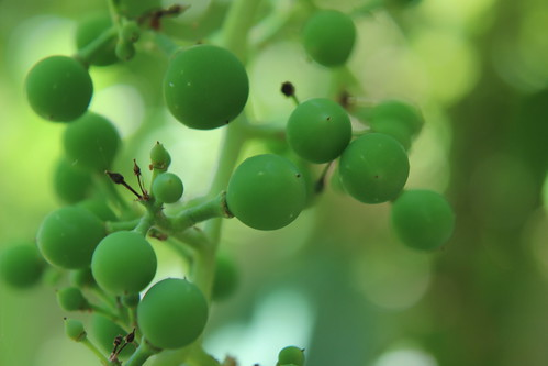 Grape Futures 3
