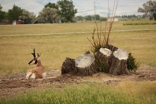 antelope lounger
