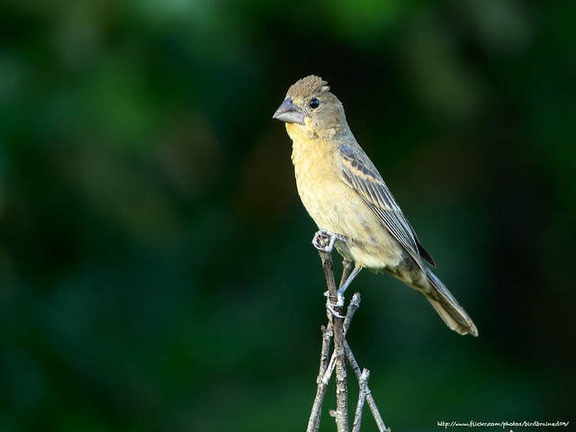 Mama Blue Grosbeak, Jul 2011