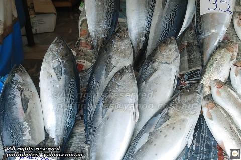 Little Tuna - Euthynnus alletteratus