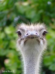 (GabrielMussiLuz) Tags: ave bahia avestruz ba ios engraado ilhus fujis5600 gabrielmussiluz