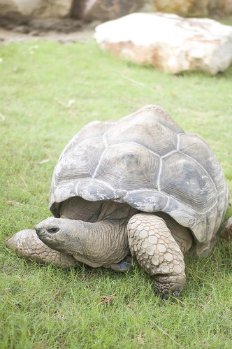 a gigantic tortoise