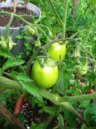 evolutionyou.net | garden tomatoes