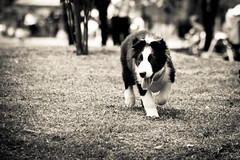 herding canon (c4lin) Tags: portrait dog face canon eyes collie retrato border cara working perro ojos bordercollie herding pastoreo stillformat