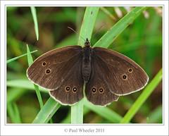 Ringlet (Paul_Wheeler) Tags: uk brown macro nature closeup butterfly insect wings open britain wildlife rings devon british ringlet aphantopus hyperantus