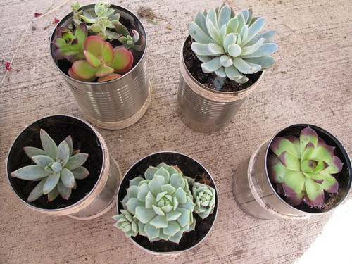 Cute succulents in tin cans