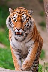 [フリー画像] 動物, 哺乳類, 虎・トラ, 201107231100