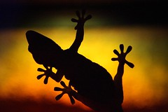 "Gecko • <a style=""font-size:0.8em;"" href=""http://www.flickr.com/photos/44919156@N00/5960181233/"" target=""_blank"">View on Flickr</a>"