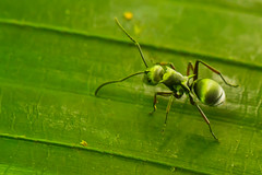 The Green Ant (Shutter wide shut) Tags: macro green closeup insect ant insects