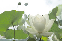 Lotus Flower - IMG_0338-1-1000 (Bahman Farzad) Tags: flower macro yoga peace lotus relaxing peaceful meditation therapy lotusflower lotuspetal lotuspetals lotusflowerpetals lotusflowerpetal