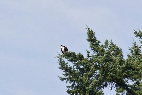 Osprey in Eagle Tree