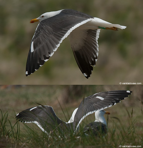 Lesser Black-backed Gull (L.f. graellsii), >8cy, G[M.ABT], leucistic wing coverts