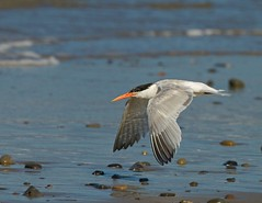 TERN (sea25bill) Tags: morning blue sea summer white bird beach nature inflight tern