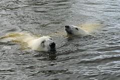Eisbren Frimas und Henk im Dierenrijk in Mierlo bei Eindhoven (Ulli J.) Tags: zoo eindhoven polarbear ijsbeer henk niederlande eisbr mierlo nuenen frimas ourspolaire dierenrijk