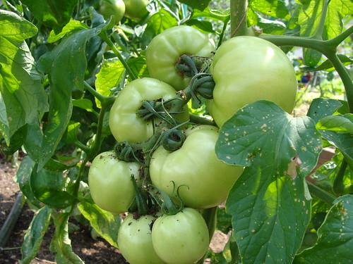 Lush Tomatoes