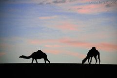 Silhouette Camels - Explore Front Page (TARIQ-M) Tags: sunset sky cloud texture silhouette landscape sand waves desert dunes camel camels riyadh saudiarabia               canon400d           canonefs18200mmf3556is