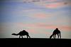 Silhouette Camels - Explore Front Page (TARIQ-M) Tags: sunset sky cloud texture silhouette landscape sand waves desert dunes camel camels riyadh saudiarabia بر غروب الصحراء جمال الرياض صحراء رمال جمل ابل رمل طعس كانون نياق المملكةالعربيةالسعودية canon400d الرمل ناقة خطوط صحاري سيلويت نفود الرمال كثبان براري تموجات canonefs18200mmf3556is تموج نفد