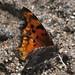 Hoary Comma Butterfly, 2