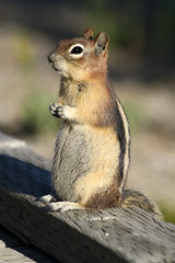 The squirrel lover is back! (gwiwer) Tags: cute squirrel posing chipmunk yellowstone streifenhrnchen goldenmantledgroundsquirrel abigfave