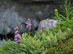 Heller's Blazing Star & Pipevine Swallowtail (Lonnie Crotts) Tags: northcarolina olympus linville wildflowers blueridgemountains blueridgeparkway blueridge grandfathermountain olympuse510 zuiko50200mmlens northcarolinablueridgeparkway northcarolinawildflower hellersblazingstar