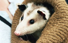 Awwww, Opossum! (Great Beyond) Tags: travel wild cute slr film tourism animal animals oregon analog 35mm eos highway scenery view image kodak iso400 scenic adorable roadtrip tourist ishootfilm hwy 101 35mmfilm 400 views wildanimal americana openroad oregoncoast interstate bandon roadside pettingzoo tamron 3000v highway101 offtheinterstate latent c41 28200mm portra400 bandonoregon kodakportra400 roadgeek westcoastgamepark canoneosrebelk2 filmisnotdead canonrebelk2 oregoncoasthighway latentimage openroads usroute101 ontheopenroad tamronaf28200mm oregoncoasthwy westcoastsafarigamepark