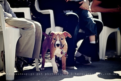 American Staffy by twoguineapigs pet photography