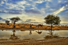 Reflection of Camel HDR - Explore Front Page (TARIQ-M) Tags: sky cloud texture landscape sand waves desert dunes camel c