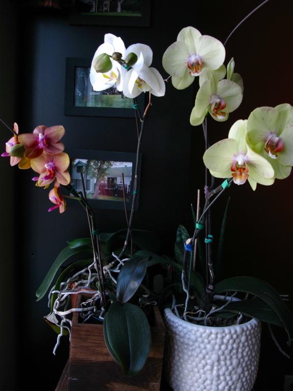 blooming phalaenopsis orchids 001