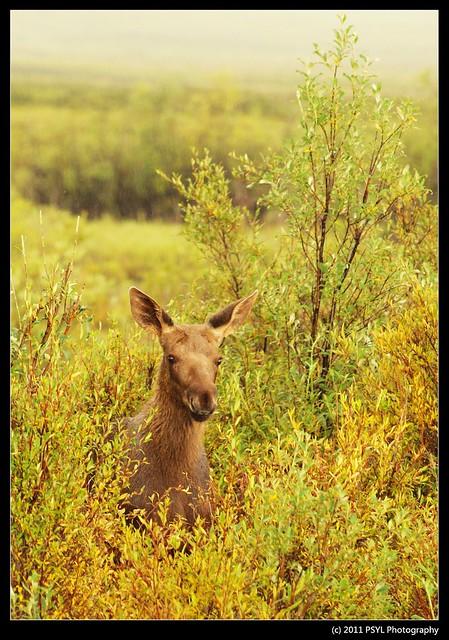 Baby Moose (Alces alces)