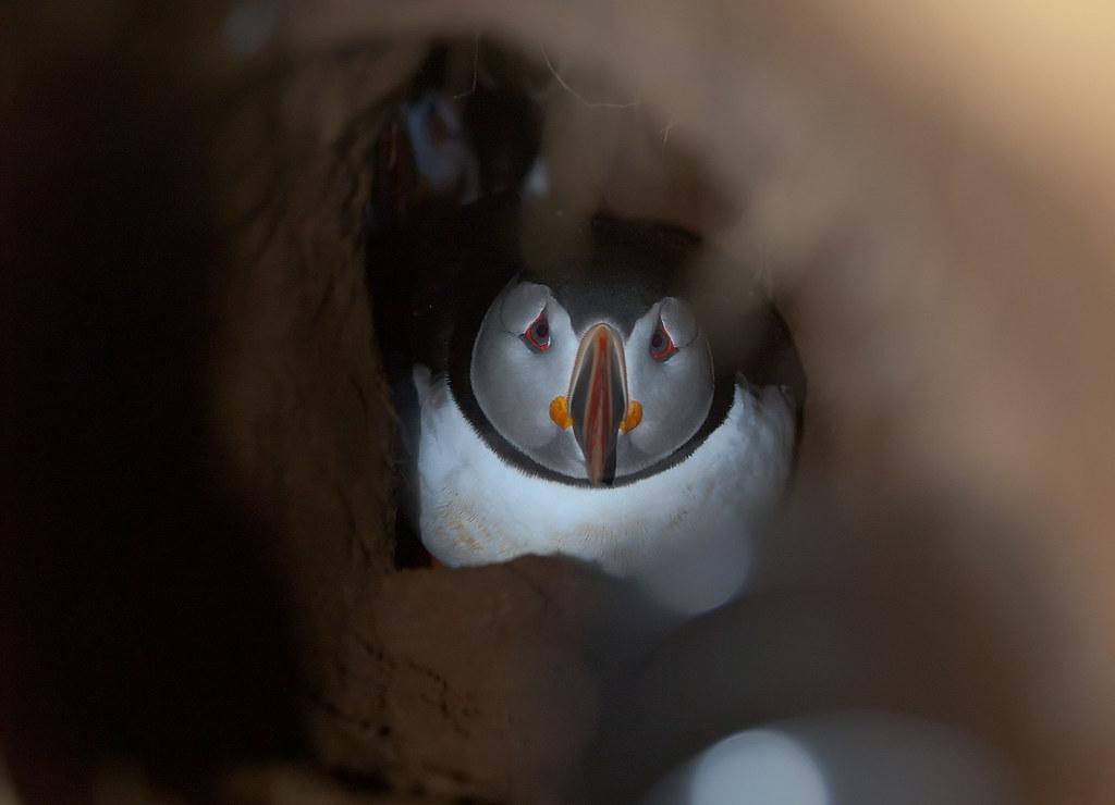 Puffin nest
