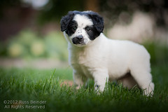 Foster Pup Pip (Russ Beinder) Tags: dog puppy mutt mix nelly pip boogie doggy pup spca crossb