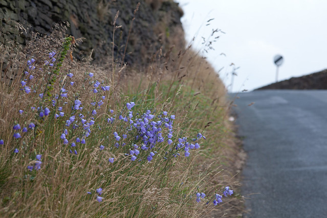 Harebells at the top of the lane