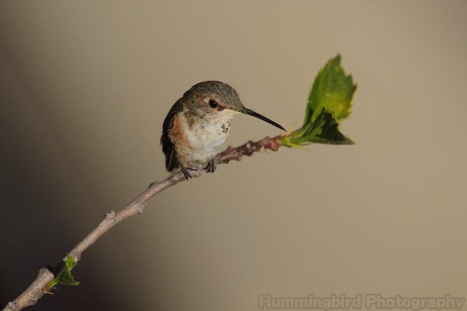 Allen's Hummingbird 080511