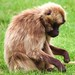 Gelada Baboon Howletts