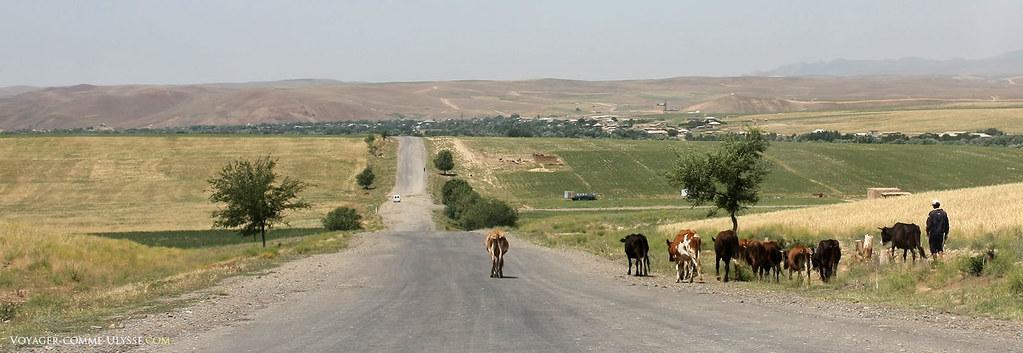 Un berger et ses vaches, sur la route du village