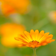 Orange and green (Steve-h) Tags: nature orange flowers blossoms green grass shortdof depthoffield bokeh selectivefocus garden dublin ireland handheld canonef100mmf28lmacroisusm canoneos5dmk2 steveh exploreinterestinglastsevendays mygearandme mygearandmepremium mygearandmebronze mygearandmesilver mygearandmegold mygearandmeplatinum mygearandmediamond urban suburban town city flowersforalady lady woman girl female bugs insects shortdepthoffield dof 4timesasnice tripleniceshot 5timesasnice 6timesasnice 7timesasnice doublyniceshot artistoftheyearlevel7 artistoftheyearlevel6 artistoftheyearlevel5 artistoftheyearlevel4 artistoftheyearlevel3 flickrstruereflection1 flickrstruereflection2 flickrstruereflection3 flickrstruereflection4 flickrstruereflection5 flickrstruereflection6 flickrstruereflection7 flickrstruereflectionexcellence ringexcellence dblringexcellence tplringexcellence eltringexcellence canoneos5dmkii